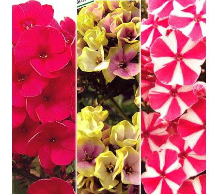 keyzers phlox rarit ten peppermint twist gelb rosa rot 6 st ck page 1. Black Bedroom Furniture Sets. Home Design Ideas