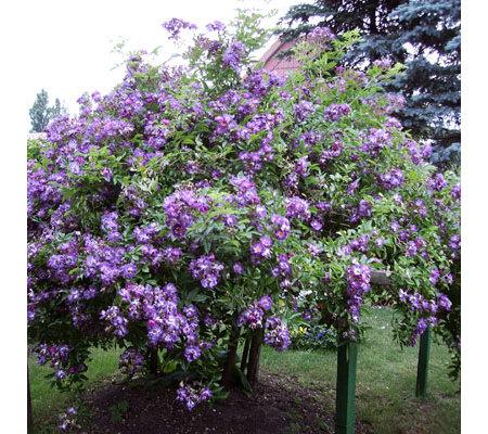 keyzers kletterrose halbgef llt violett duftend 2 pflanzen page 1. Black Bedroom Furniture Sets. Home Design Ideas