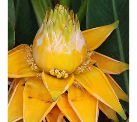 keyzers rarit t golden lotus banane imposante duftende. Black Bedroom Furniture Sets. Home Design Ideas