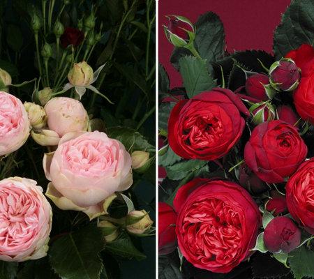 keyzers rarit t piano rosen duftend 2 pflanzen. Black Bedroom Furniture Sets. Home Design Ideas