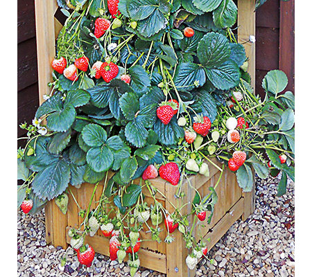 erdbeeren pflanzen erdbeeren pflanzen with erdbeeren pflanzen perfect erdbeeren pflanzen. Black Bedroom Furniture Sets. Home Design Ideas