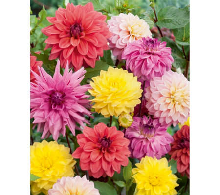 Roberta's 6-Piece Dahlia All-in-One Mixture