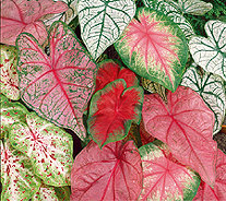 Roberta's 9-Piece Fancy Leaf Caladium Mix - H285902