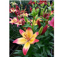 Roberta's 8-Piece Heartstrings Asiatic Lily Collection - H287909
