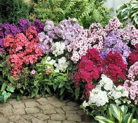 Cottage Farms 10-Piece Tall Phlox Value Mix