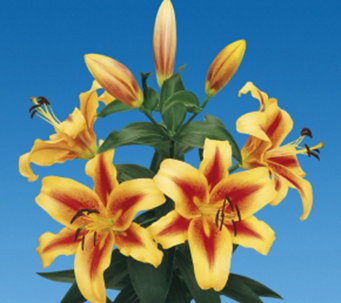Roberta's 6-pc Shocking Orienpet Lily - H285726