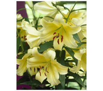 Roberta's 12-Piece Yellow Oriental Lily Collection - H174832