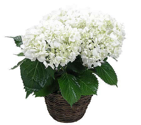 Potted hydrangea plant by proflowers - Care potted hydrangea ...