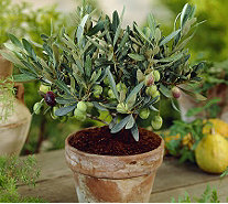 Roberta's 1-Piece Black Arbequina Olive Tree - H365440