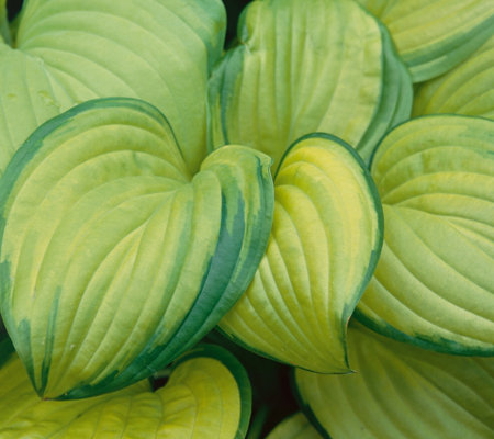 Roberta's 6-Piece Medium-Size Hosta Assortment