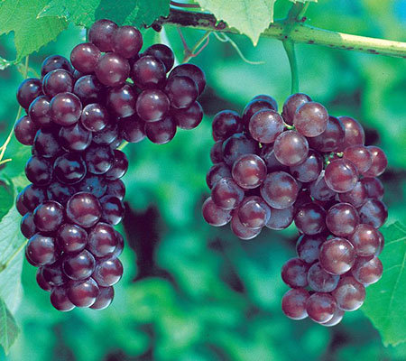 Roberta's 2-Piece Red Canadice Seedless Grape