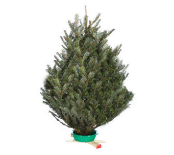 "Del Week 12/12 Carolina Fraser 30-36"" Tabletop Fraser Tree - H364158"