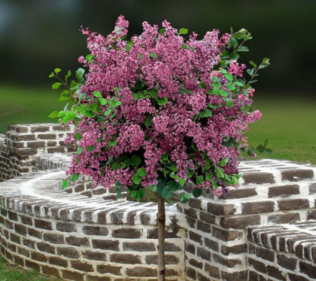 Cottage Farms Red Pixie Lilac Patio Tree