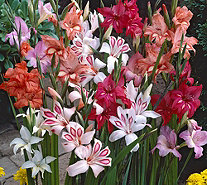 Roberta's 30-Piece Winter Hardy Sub-Zero Gladiola Mixture - H290662