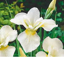 Roberta's 3-Piece Siberian Irises All HarpswellHappiness - H285870