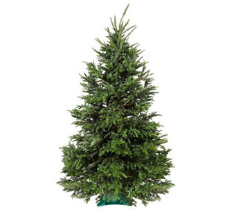Del Week 12/12 Carolina Fraser Fresh Cut 7.5-8' Fraser Fir Tre - H364172
