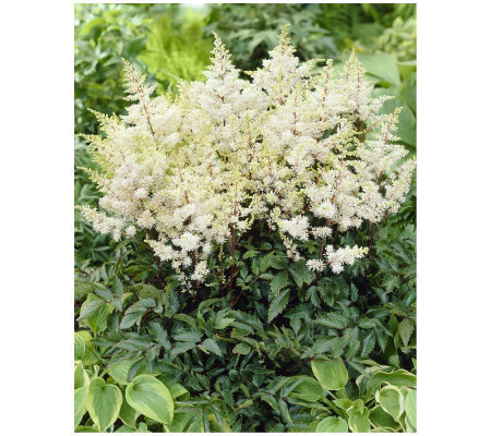 Roberta's 3 Piece Rock and Roll White Astilbe
