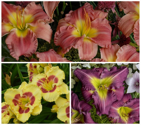 Sh. 5/7 Cottage Farms 3pc Effortless ColorDaylily Trio