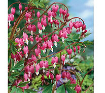 Roberta's 4-Piece Pink Bleeding Hearts - H287893