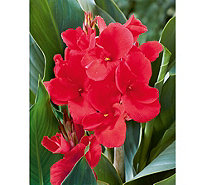 Roberta's 4pc Elite Series Large Flowering Rosita Canna Lilie - H287897
