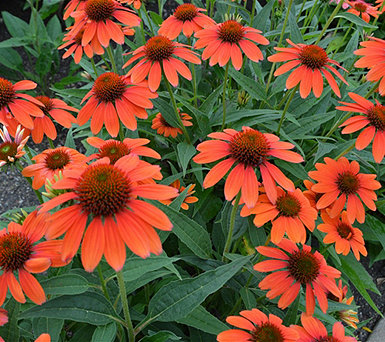 Cottage Farms 2-piece Sombrero Adobe Orange Coneflowers - M57007