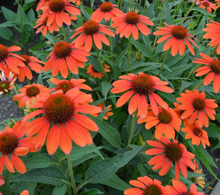 Cottage Farms 2-piece Sombrero Adobe Orange Coneflowers