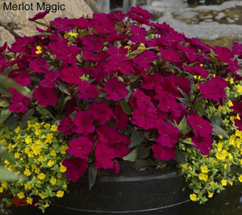 Cottage Farms 8-piece Hearts Desire SunPatiens Collection - M43508