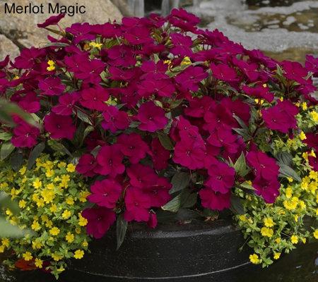 Cottage Farms 8-piece Hearts Desire SunPatiens Collection — QVC com