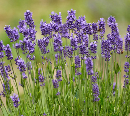 Cottage Farms 6-pc Lavance Purple Lavender