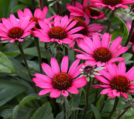 Roberta's 4-piece Sunseeker Patio Echinacea Collection