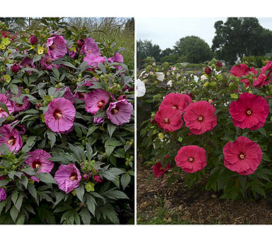 Cottage Farms 2-Piece Color Deluxe Hardy Hibiscus - M58909