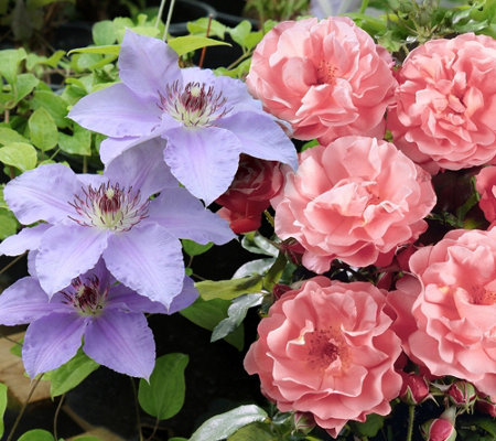 Cottage Farms Fragrant Summer Rose Clematis Duo
