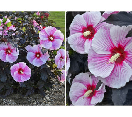 Cottage Farms 2-Pc Starry Starry Night Giant Hibiscus Duo