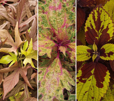 Martha Stewart 3-Piece Coleus & Garnet Lace Collection Proven Winners