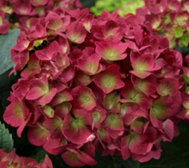 Cottage Farms 2-pc Raspberry Sparkles Hydrangea