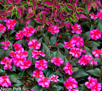 Roberta's 6-pc Compact and Colorful Sunpatiens Auto-Delivery - M53912