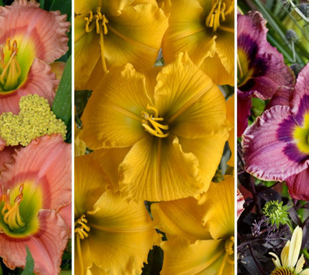 Cottage Farms 3-Piece Elegant Encore Daylily Collection