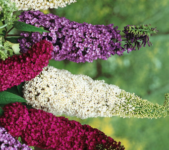 Roberta's 3-piece Buzz Series Butterfly Bushes - M53018