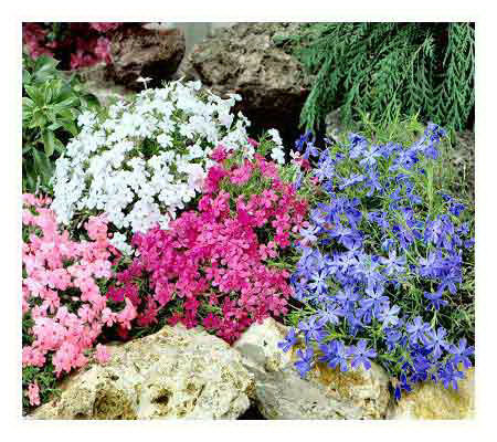 Cottage Farms 12 pc Carpet Phlox Ground Cover Collection
