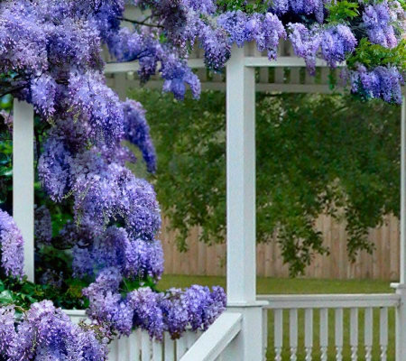 Cottage Farms Reblooming Blue Moon Wisteria Duo