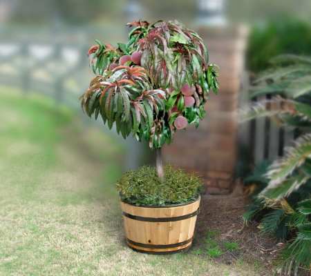Cottage Farms Dwarf Bonanza Patio Peach Tree