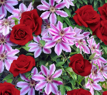 Cottage Farms Candy Cane Swirl Rose Clematis Duo