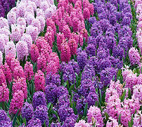 Roberta's 20 piece Scent of Spring Hyacinth Mix - M54924