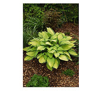 Roberta's 6 Piece Gold Standard Large-Sized Hosta - M105725