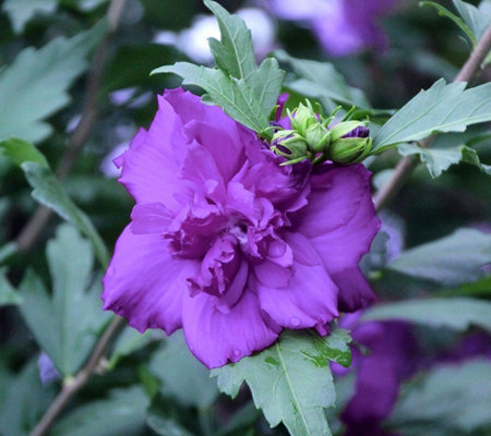 Cottage Farms Blueberry Smoothie Rose of Sharon Tree