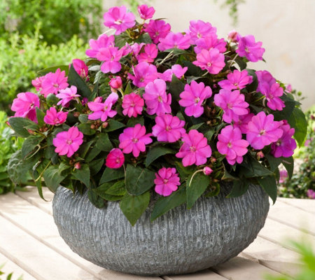 Cottage Farms 6-Piece Amethyst Glow SunPatiens