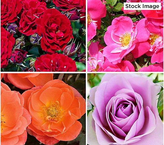 Cottage Farms 4 Piece Mini Roses Color Pop Live Plants Qvc Com