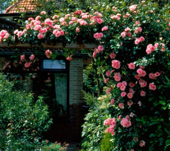 Cottage Farms 2-Piece Climbing Zephrine Droughin Roses - M114229