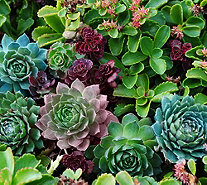 Cottage Farms Artist's Palett Savvy Sedum & Succulent Collection - M51029