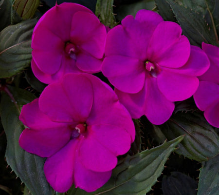 Cottage Farms 6-Piece Bella Grape SunPatiens